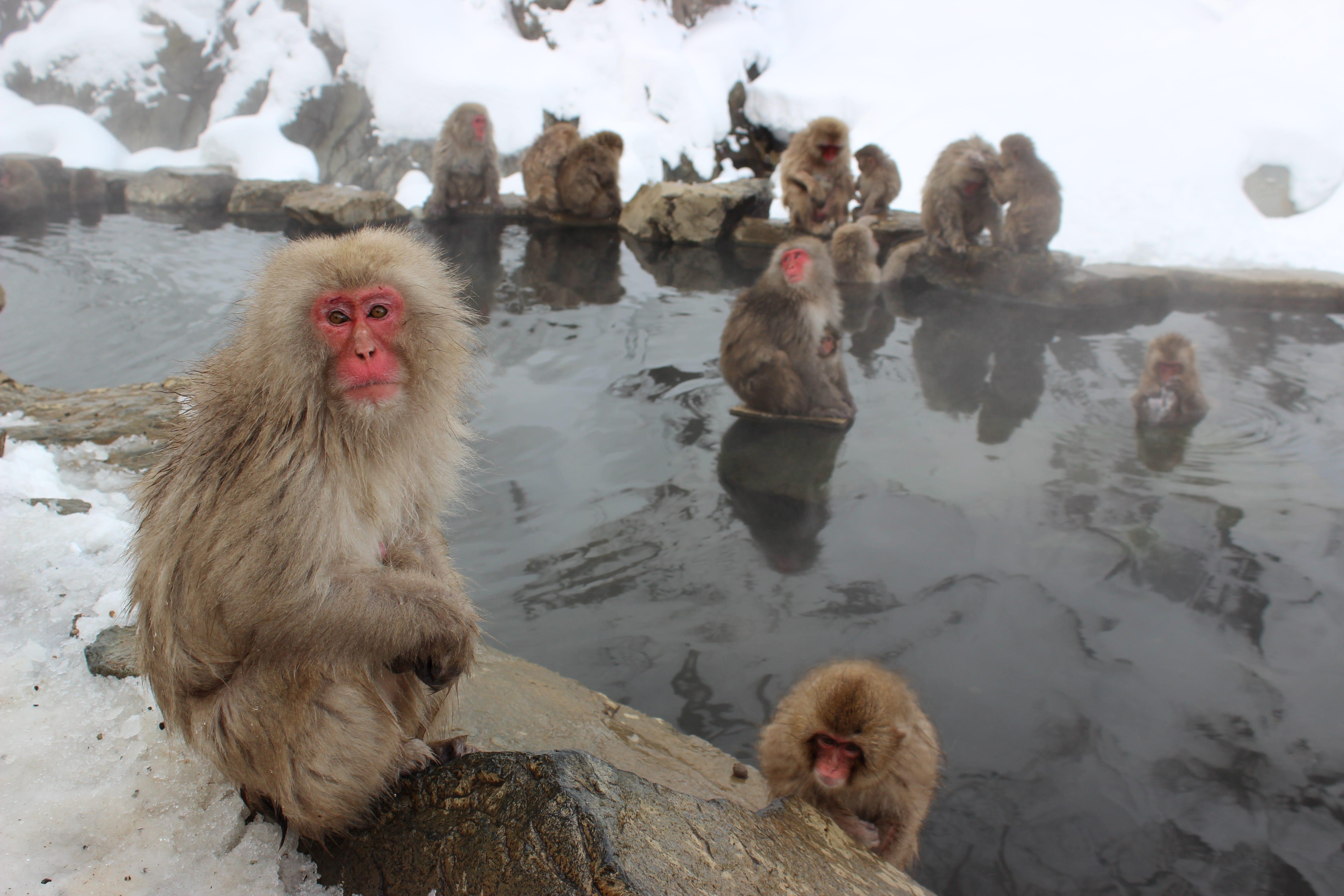 Ученые пришли к выводу что: Макаки снимают стресс и отдыхают в Японских горячих источниках