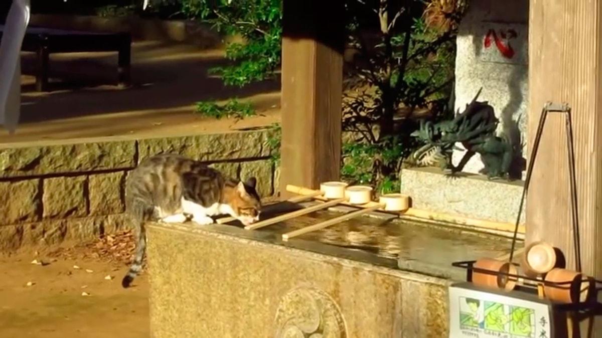Бездомный кот пьющий воду в храме