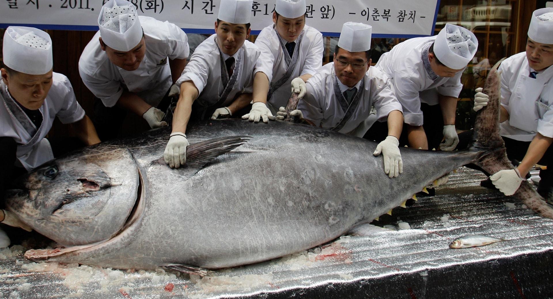 В Японии был продан на аукционе самый большой тунец за последнее 10 лет
