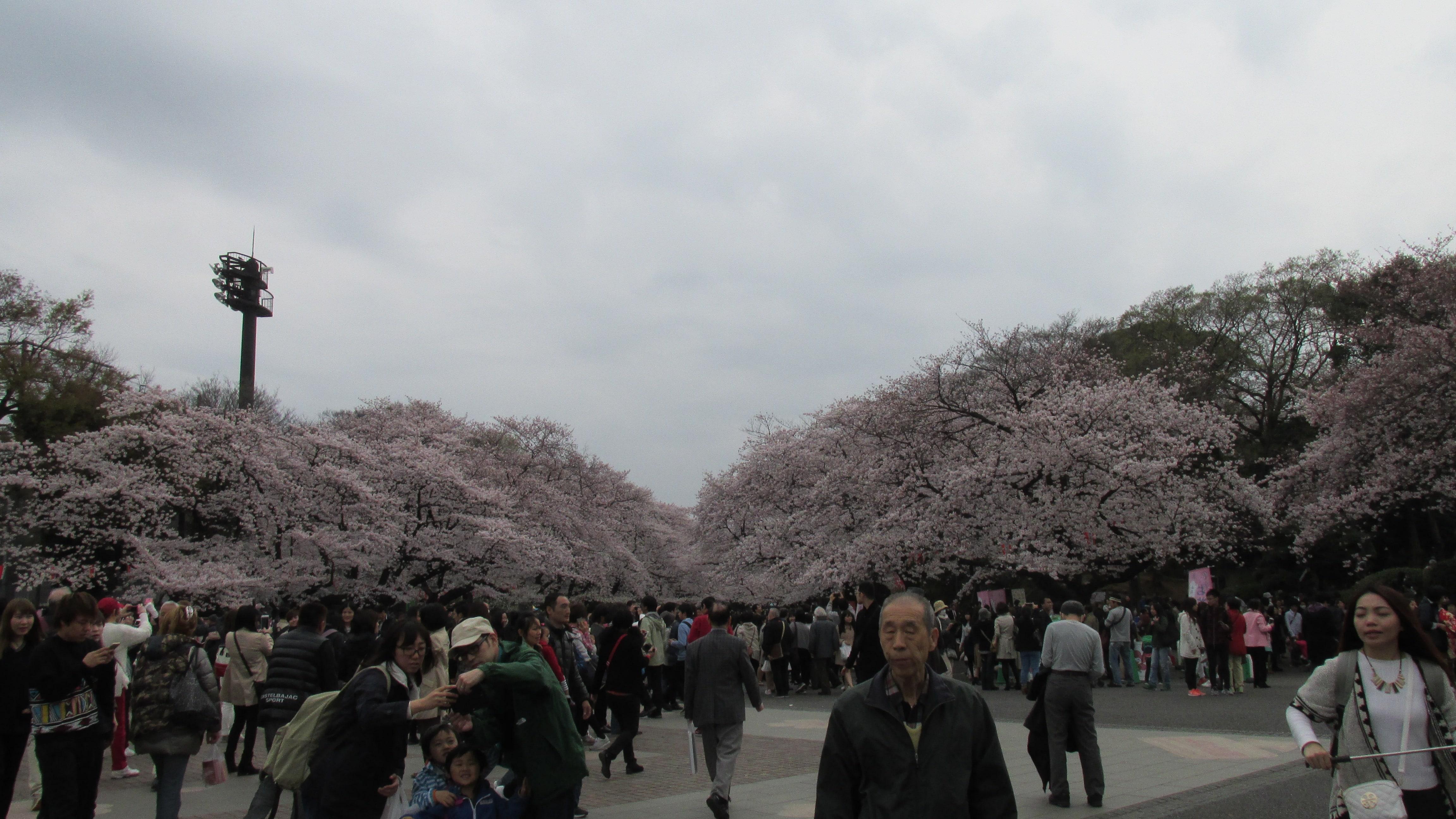 Опубликован прогноз цветения сакуры в Японии на 2018 год