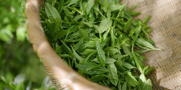 Как выращивают чай на японских чайных плантациях