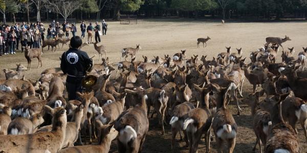 Как делают крекеры для оленей в Наре