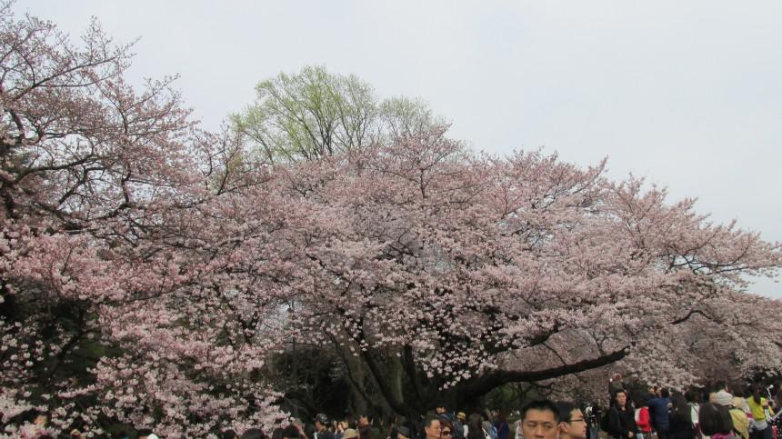 Сезон цветения сакуры официально открыт в Токио